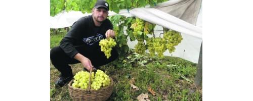 Собираем заказы на саженцы винограда  Евгения Пригаровского - органические саженцы для органического виноградника.